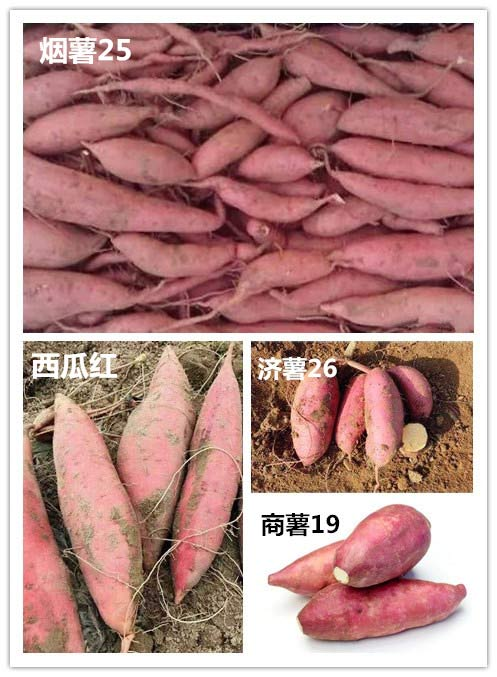 Sweet Potato Storage in Winter! Three Strokes to Solve the Problem of Sweet Potato Rot Easily!